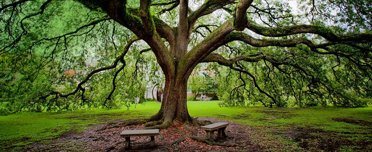 A live oak tree on the campus of Tulane School of Professional Advancement in New Orleans, LA