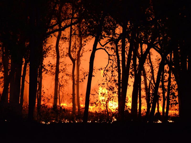 Trees during a forest fire